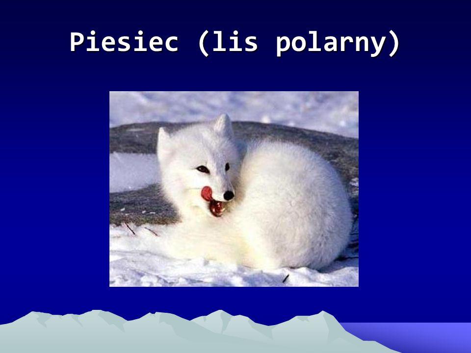 Piesiec (lis polarny)