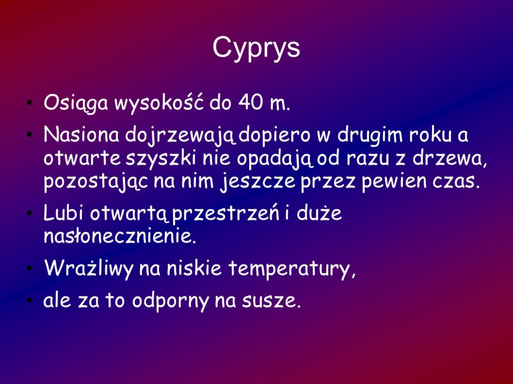 Cyprys Osiąga wysokość do 40 m.