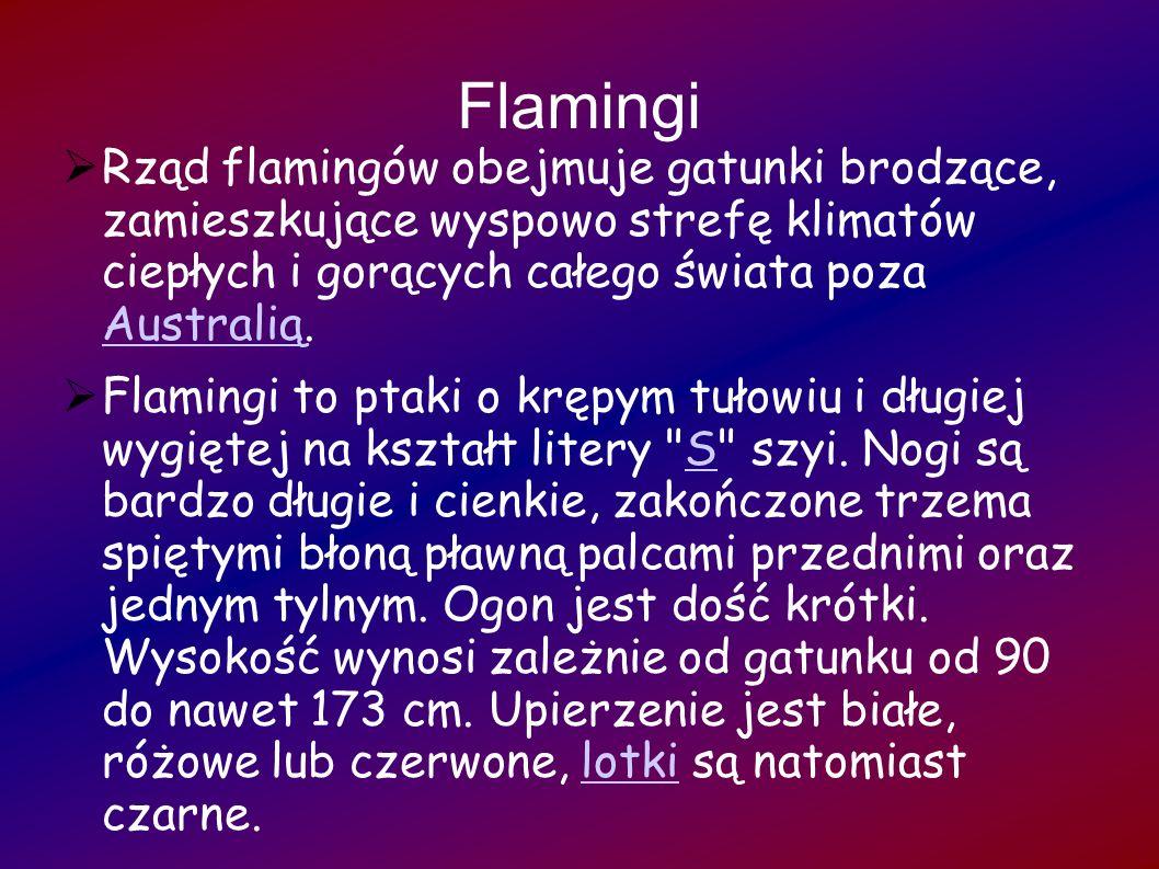 FlamingiRząd flamingów obejmuje gatunki brodzące, zamieszkujące wyspowo strefę klimatów ciepłych i gorących całego świata poza Australią.