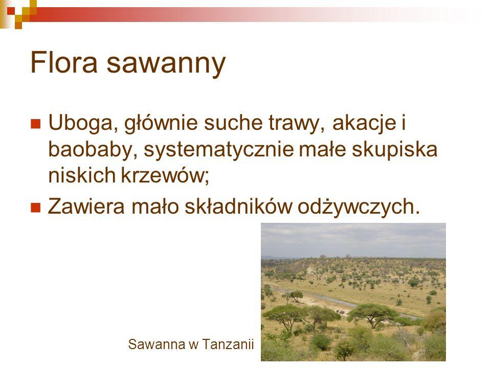 Flora sawanny Uboga, głównie suche trawy, akacje i baobaby, systematycznie małe skupiska niskich krzewów;