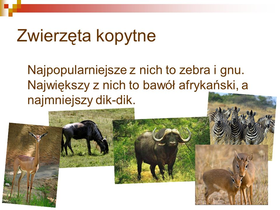 Zwierzęta kopytne Najpopularniejsze z nich to zebra i gnu.