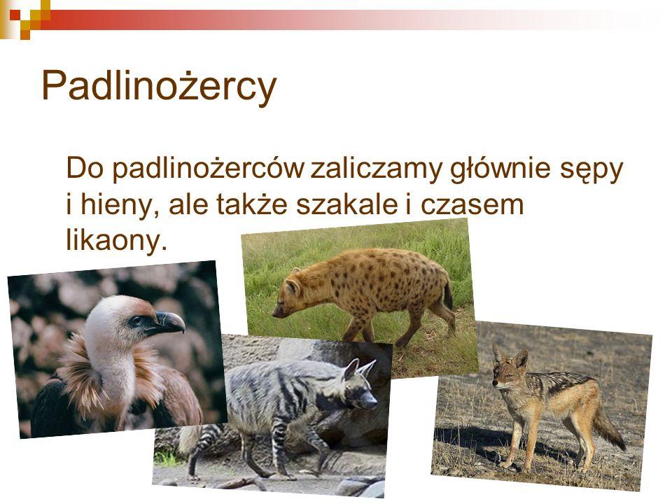 Padlinożercy Do padlinożerców zaliczamy głównie sępy i hieny, ale także szakale i czasem likaony.