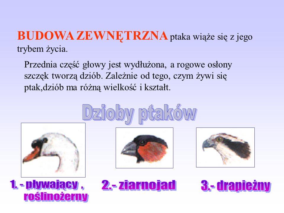 Dzioby ptaków 2.- ziarnojad 3.- drapieżny