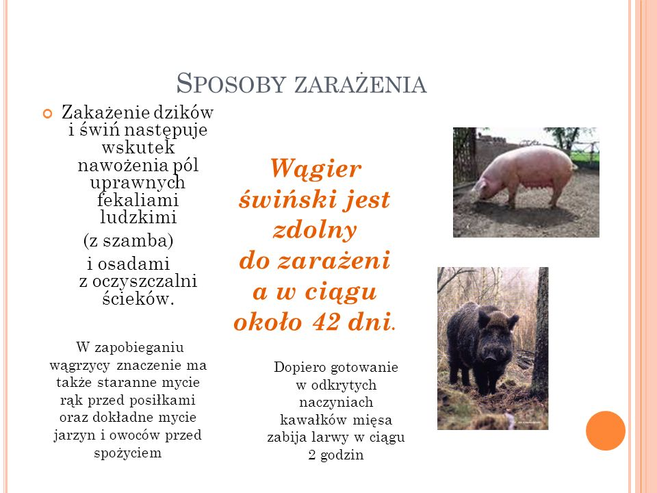 Wągier świński jest zdolny do zarażenia w ciągu około 42 dni.