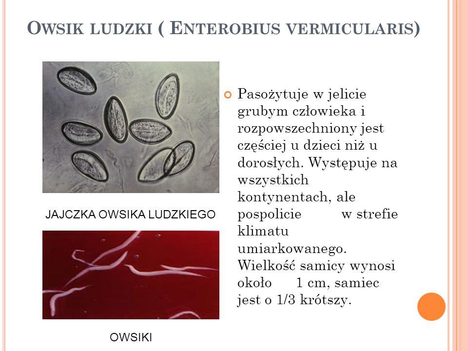 Owsik ludzki ( Enterobius vermicularis)