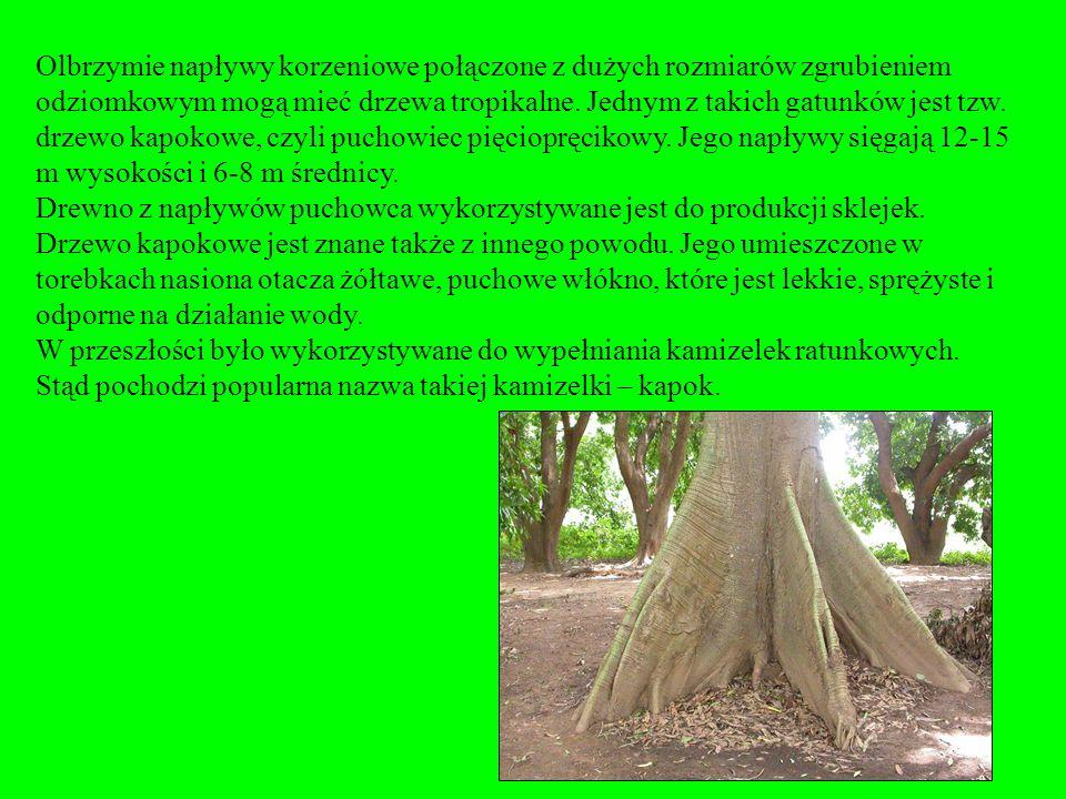 Olbrzymie napływy korzeniowe połączone z dużych rozmiarów zgrubieniem odziomkowym mogą mieć drzewa tropikalne. Jednym z takich gatunków jest tzw. drzewo kapokowe, czyli puchowiec pięciopręcikowy. Jego napływy sięgają 12-15 m wysokości i 6-8 m średnicy.