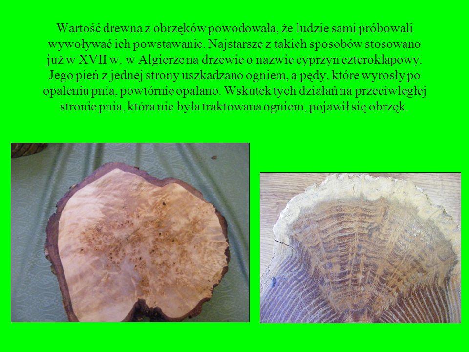 Wartość drewna z obrzęków powodowała, że ludzie sami próbowali wywoływać ich powstawanie.