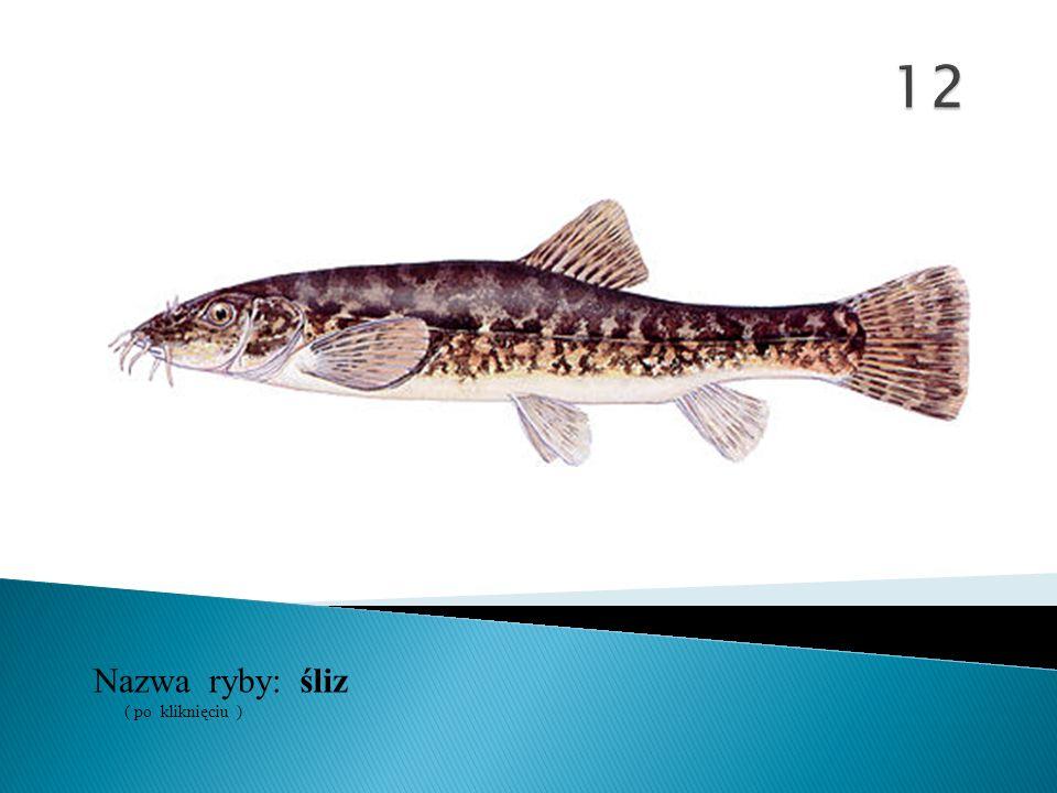 12 Nazwa ryby: ( po kliknięciu ) śliz
