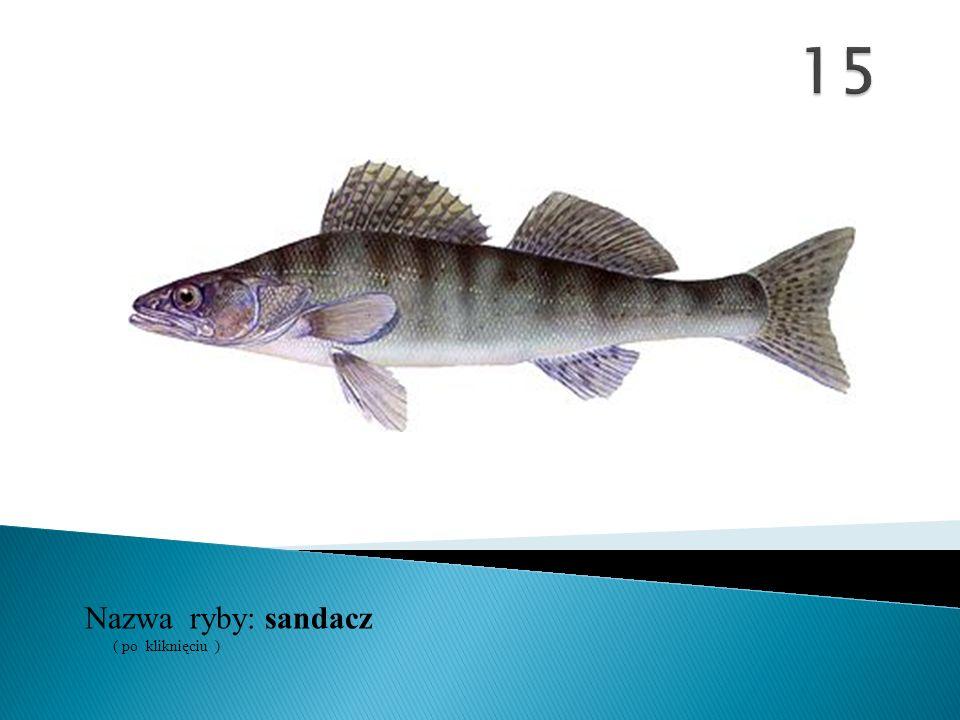 15 Nazwa ryby: ( po kliknięciu ) sandacz