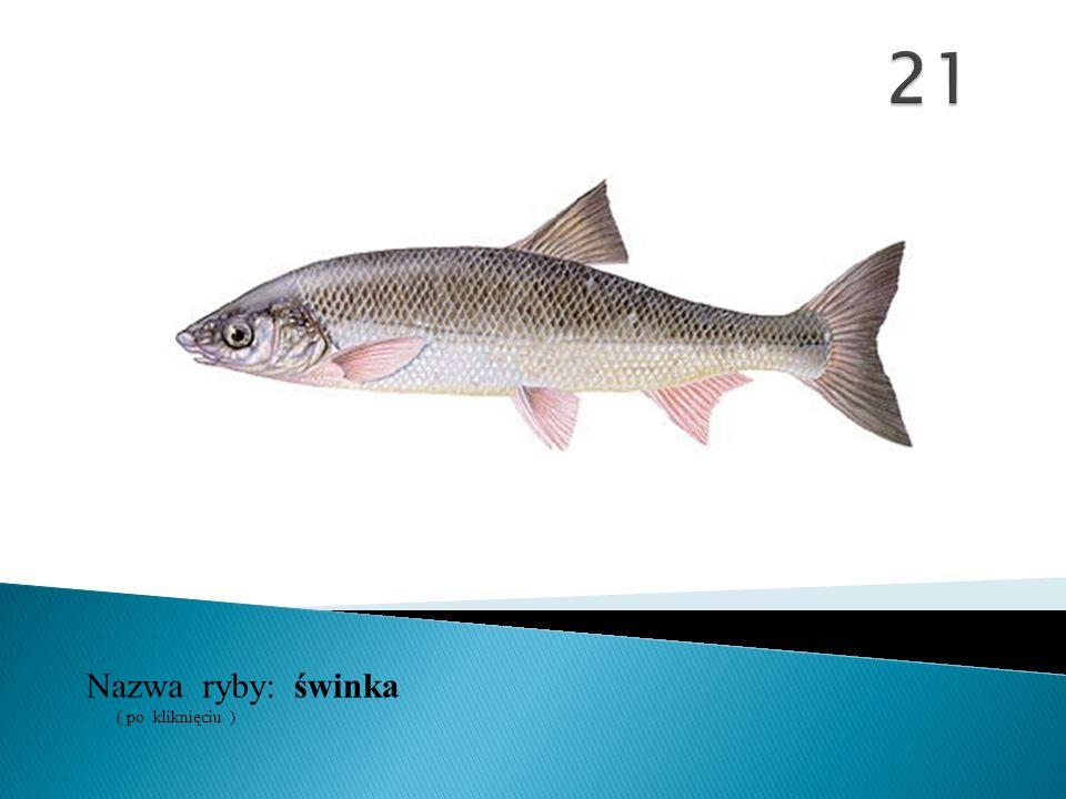 21 Nazwa ryby: ( po kliknięciu ) świnka