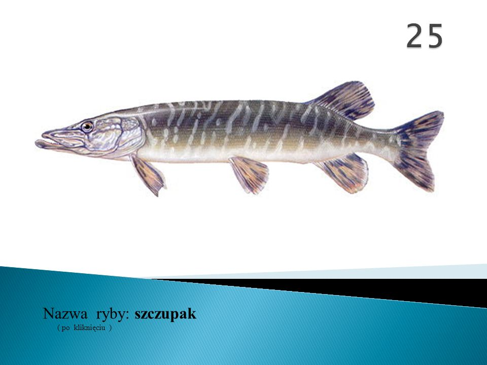 25 Nazwa ryby: ( po kliknięciu ) szczupak