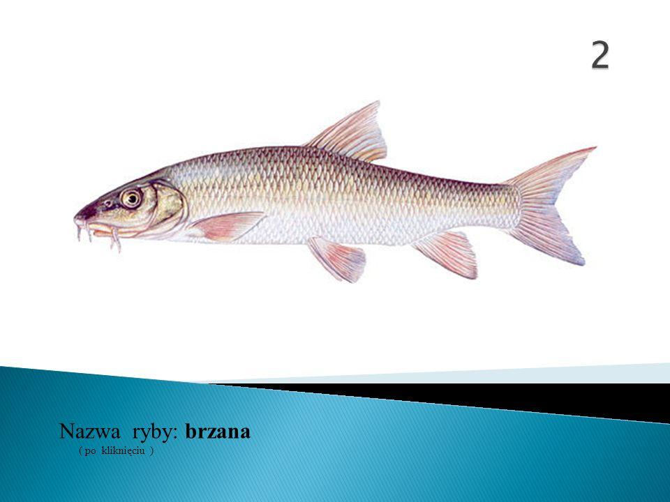 2 Nazwa ryby: ( po kliknięciu ) brzana