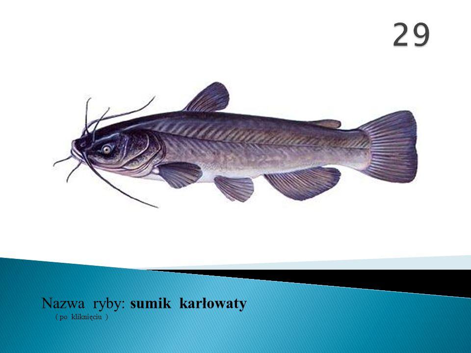 29 Nazwa ryby: ( po kliknięciu ) sumik karłowaty