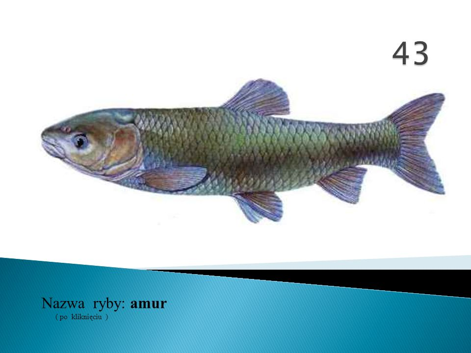 43 Nazwa ryby: ( po kliknięciu ) amur