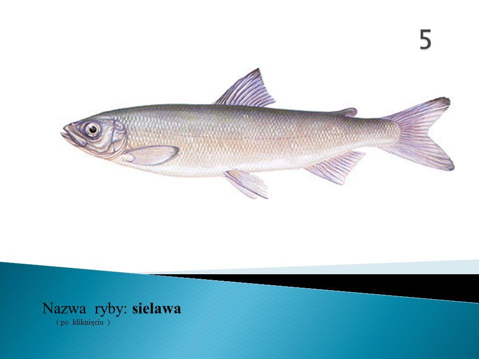 5 Nazwa ryby: ( po kliknięciu ) sielawa