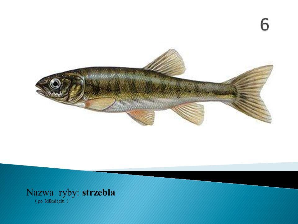 6 Nazwa ryby: ( po kliknięciu ) strzebla