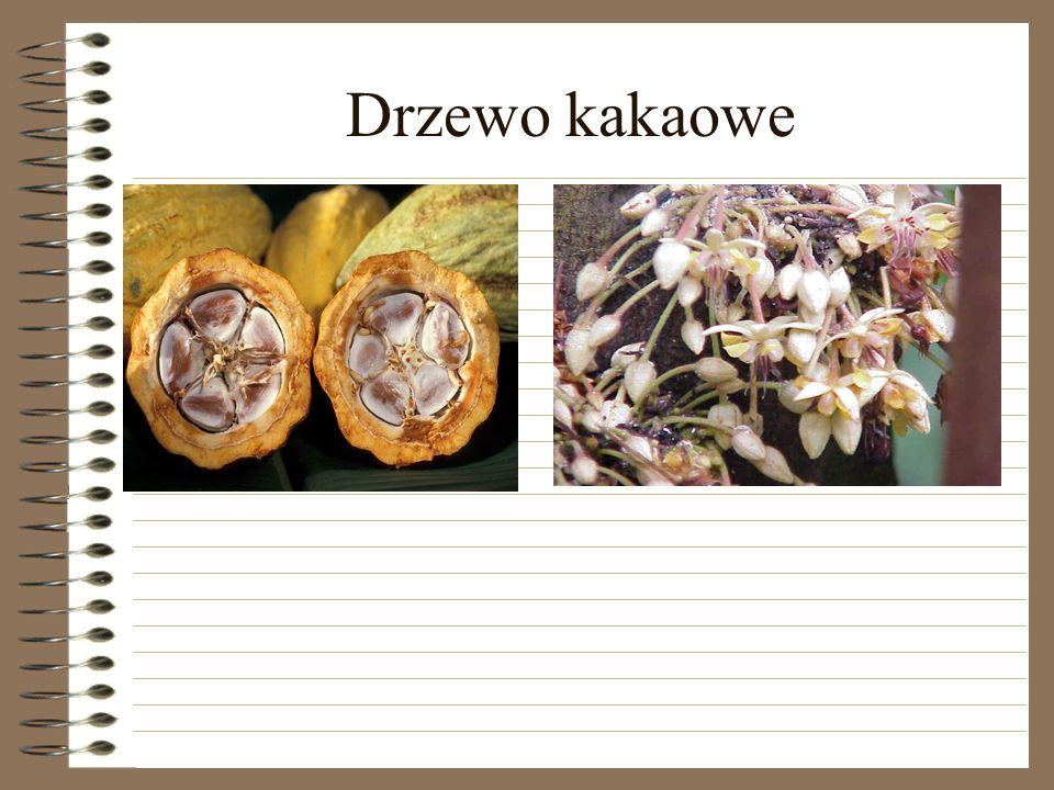 Drzewo kakaowe