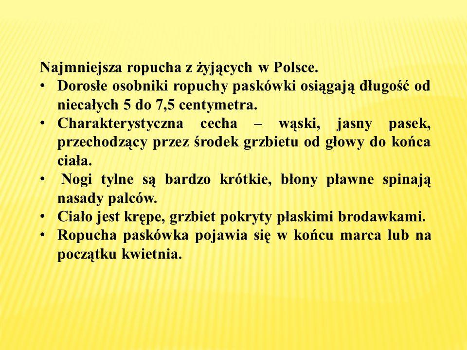 Najmniejsza ropucha z żyjących w Polsce.