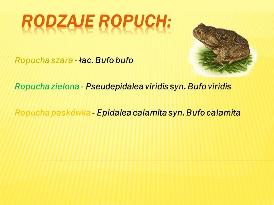 RODZAJE Ropuch: Ropucha szara - łac. Bufo bufo