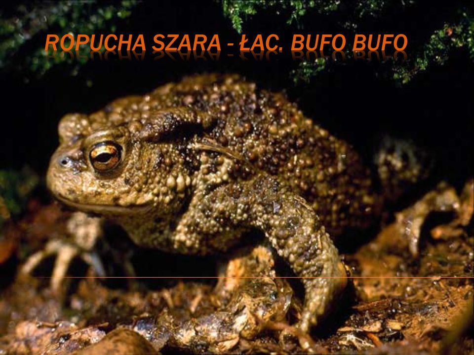 Ropucha szara - łac. Bufo bufo