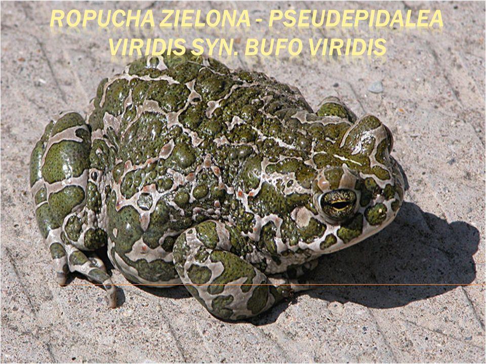 Ropucha zielona - Pseudepidalea viridis syn. Bufo viridis
