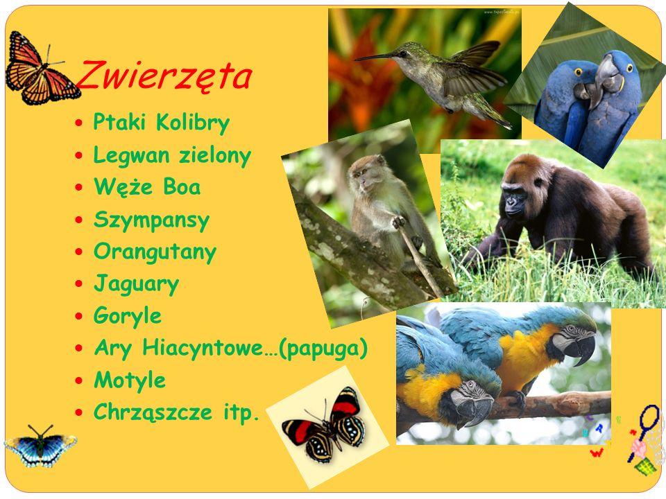 Zwierzęta Ptaki Kolibry Legwan zielony Węże Boa Szympansy Orangutany