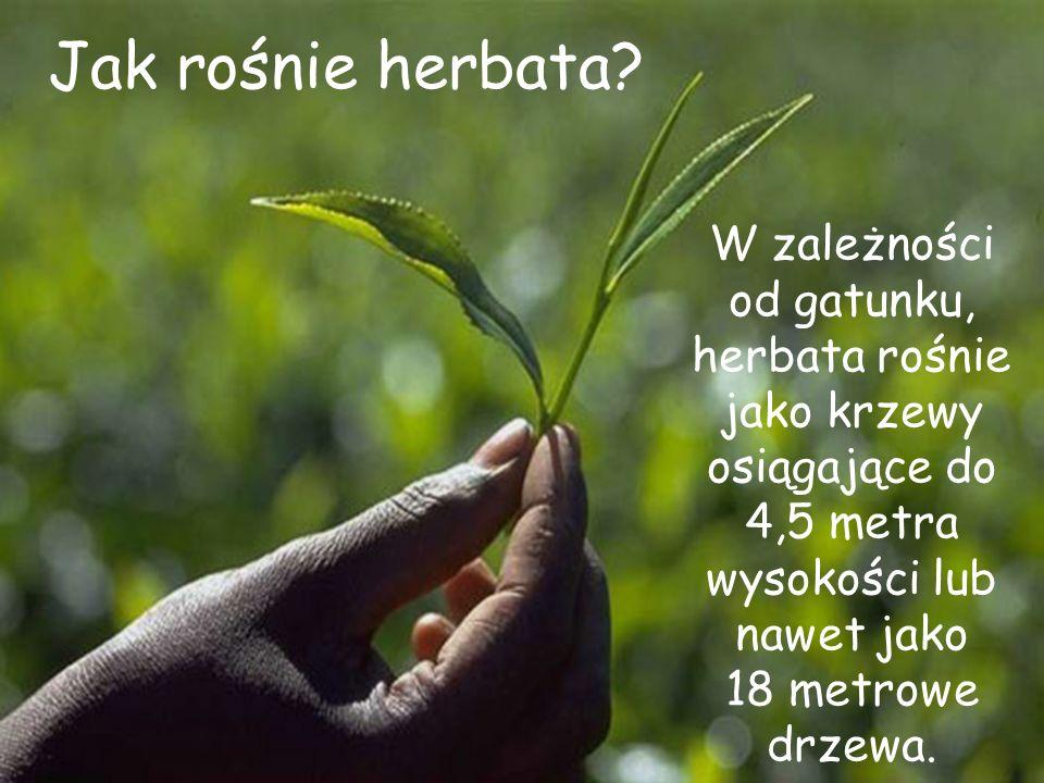 Jak rośnie herbata W zależności od gatunku, herbata rośnie jako krzewy osiągające do 4,5 metra wysokości lub nawet jako.