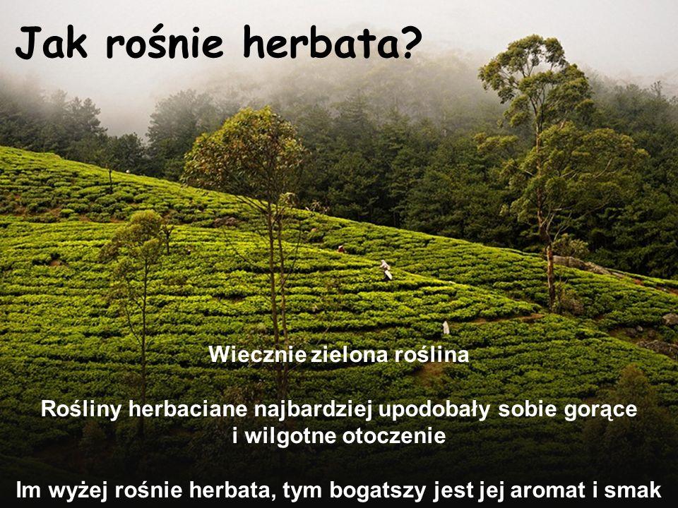 Jak rośnie herbata Wiecznie zielona roślina