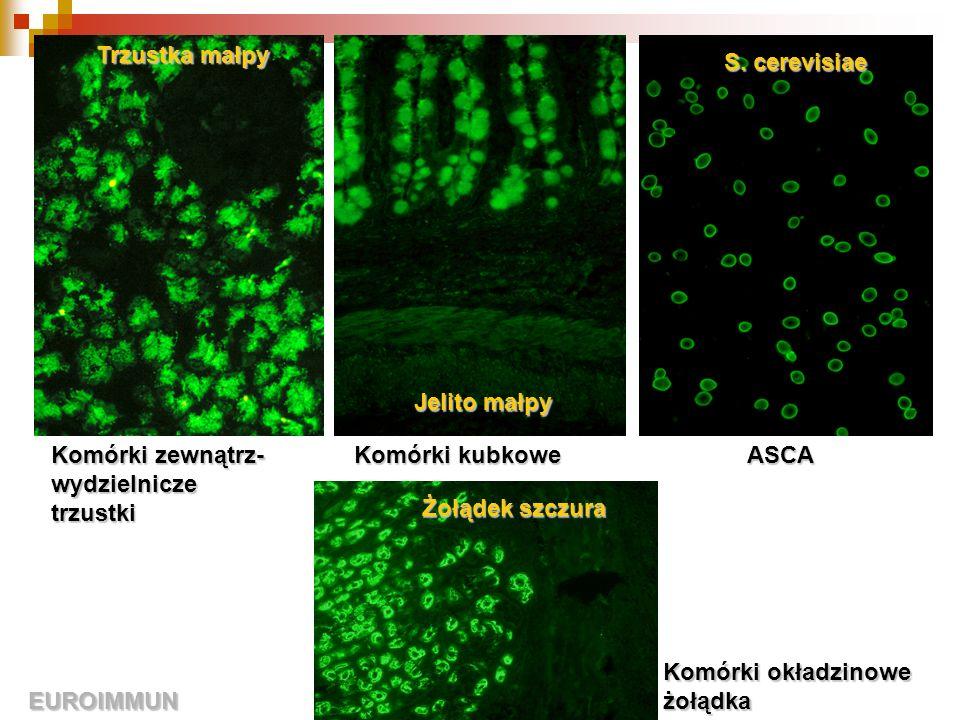 Trzustka małpy S. cerevisiae. Jelito małpy. Komórki zewnątrz-wydzielnicze trzustki. Komórki kubkowe.