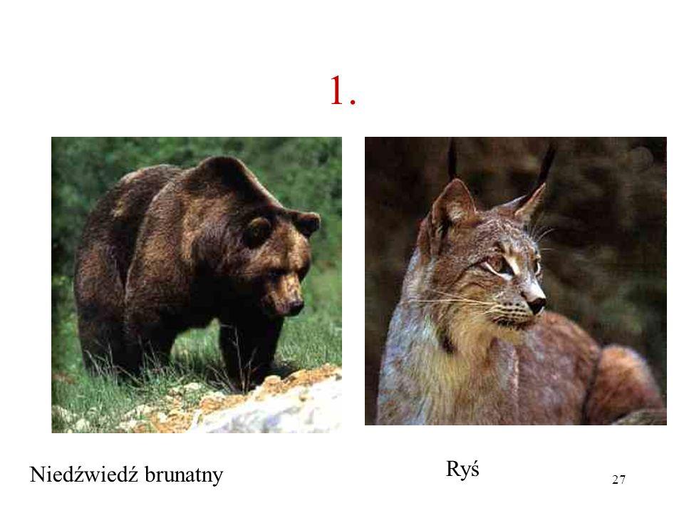 1. Ryś Niedźwiedź brunatny