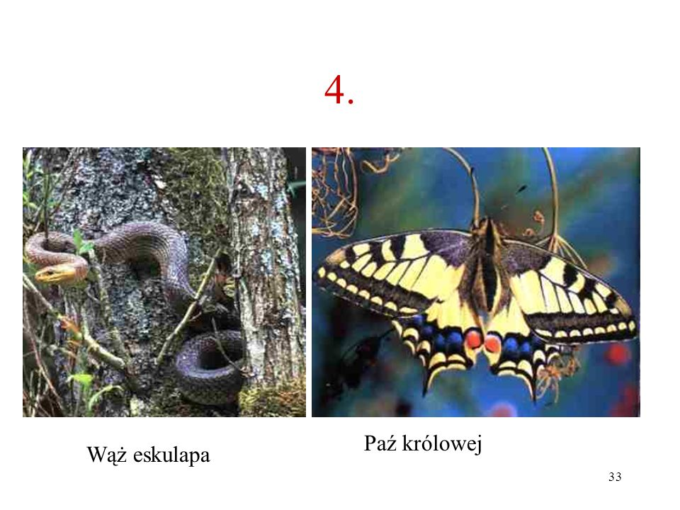 4. Paź królowej Wąż eskulapa