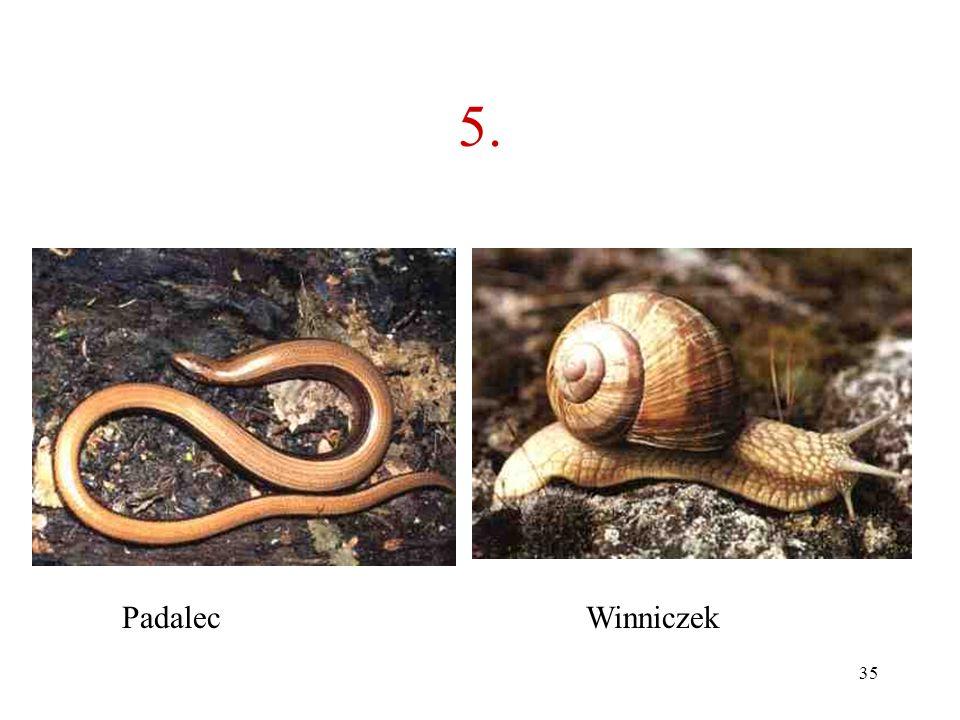 5. Padalec Winniczek