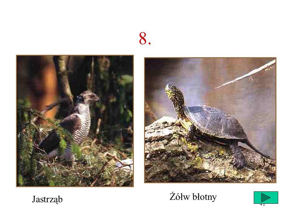 8. Żółw błotny Jastrząb