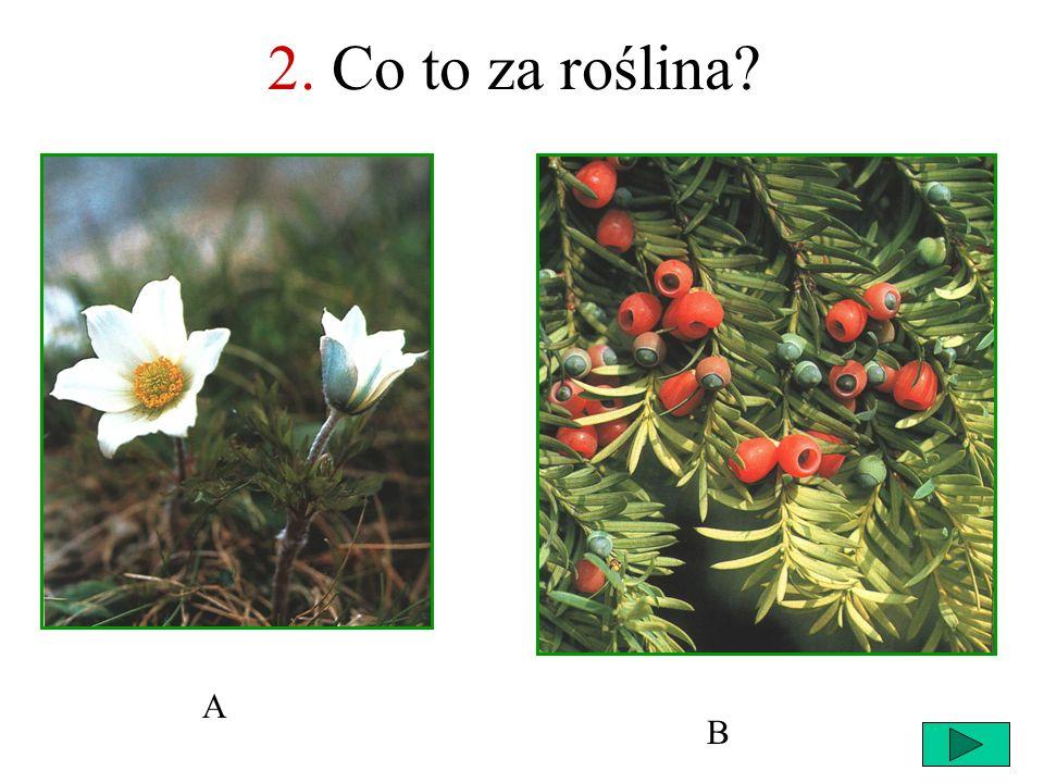 2. Co to za roślina A B