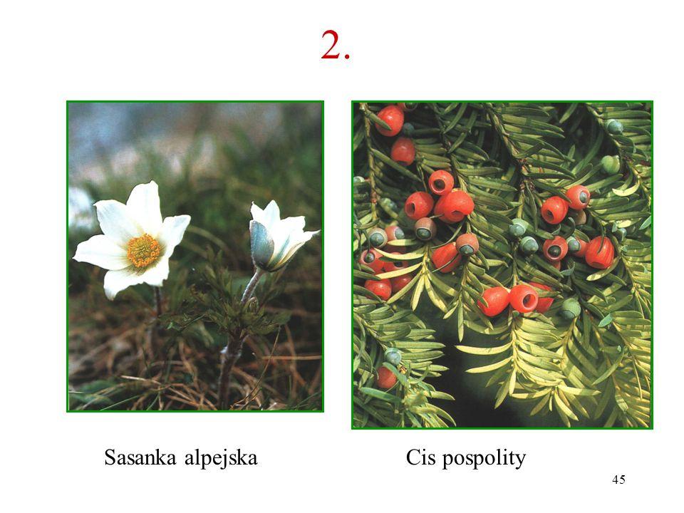 2. Sasanka alpejska Cis pospolity