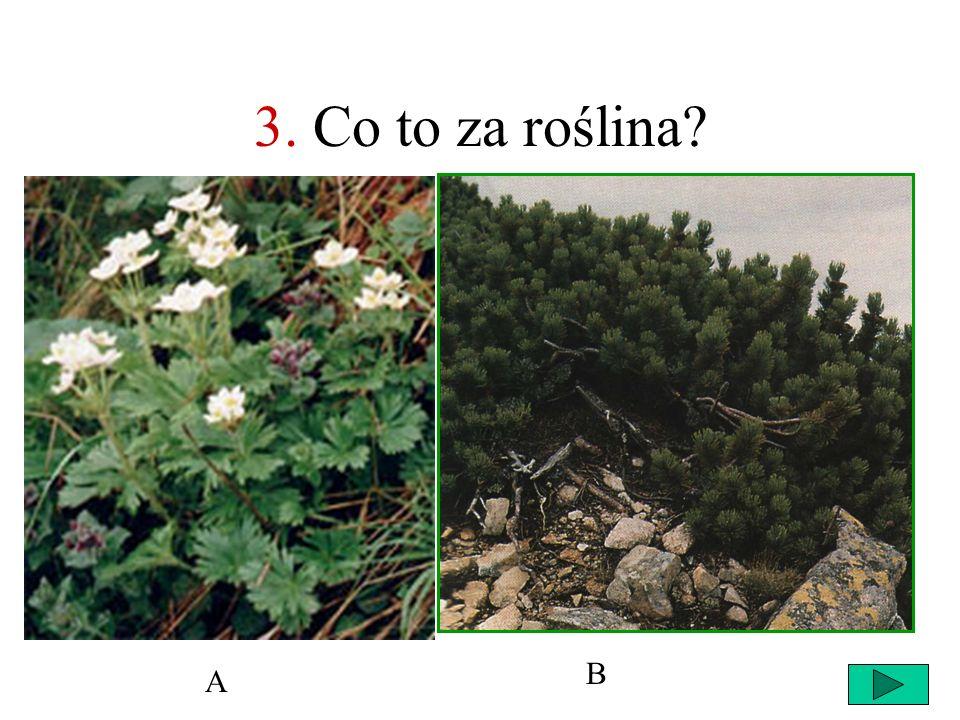 3. Co to za roślina B A