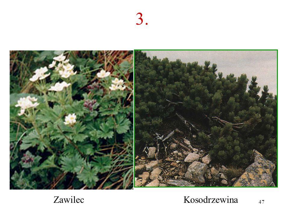 3. Zawilec Kosodrzewina
