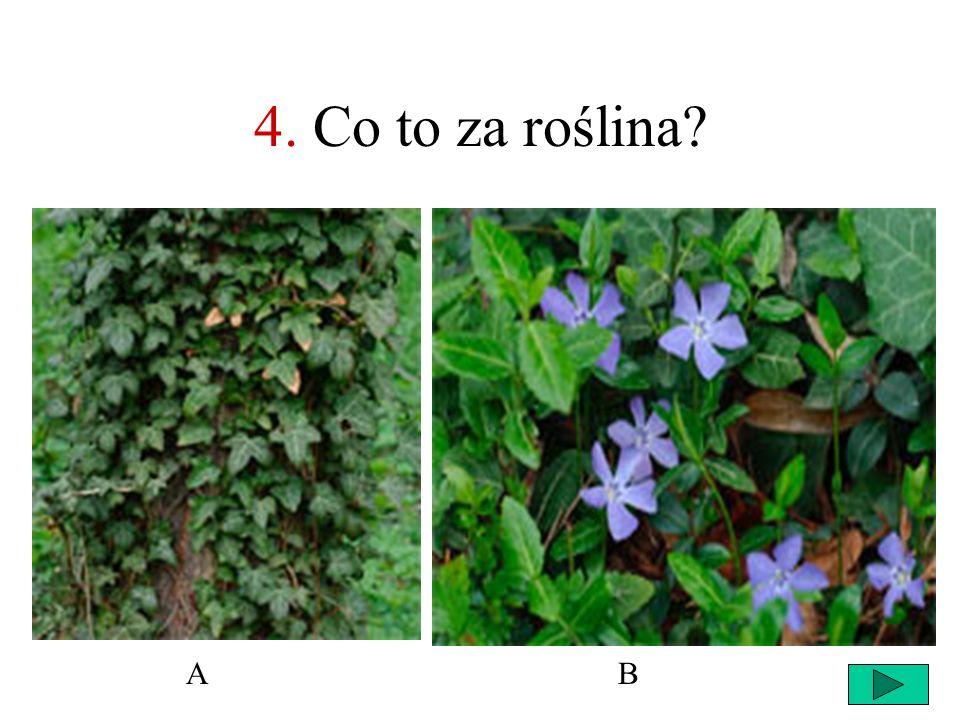4. Co to za roślina A B