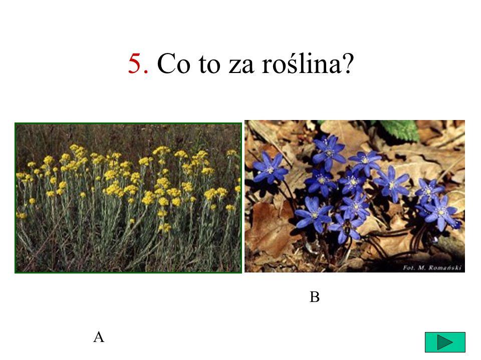 5. Co to za roślina B A