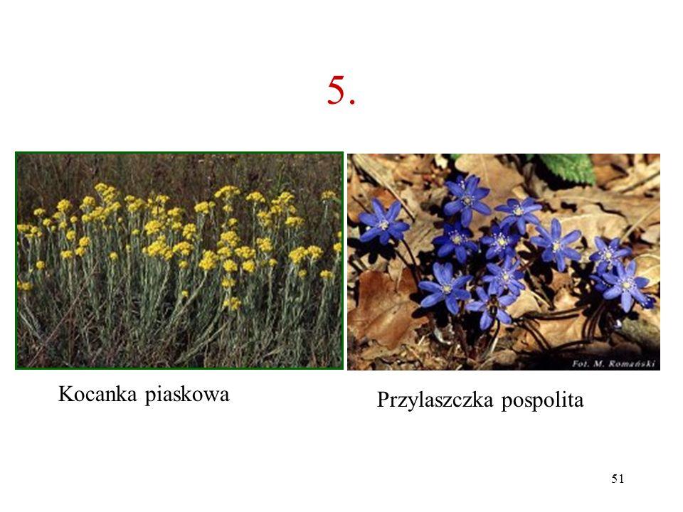 5. Kocanka piaskowa Przylaszczka pospolita