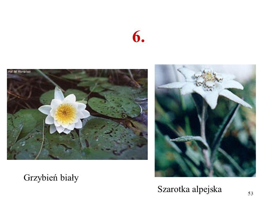 6. Grzybień biały Szarotka alpejska