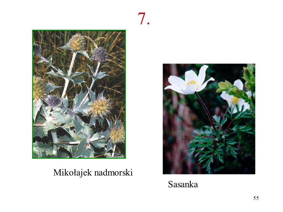 7. Mikołajek nadmorski Sasanka