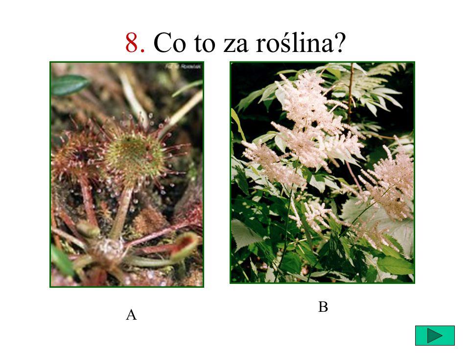 8. Co to za roślina B A