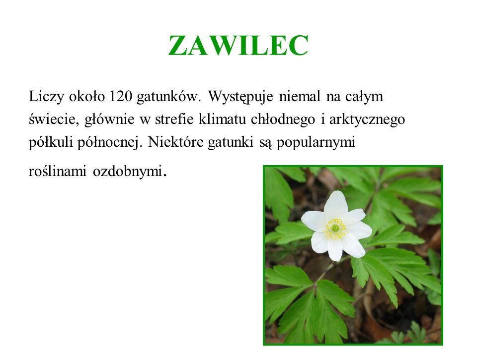 ZAWILEC Liczy około 120 gatunków. Występuje niemal na całym