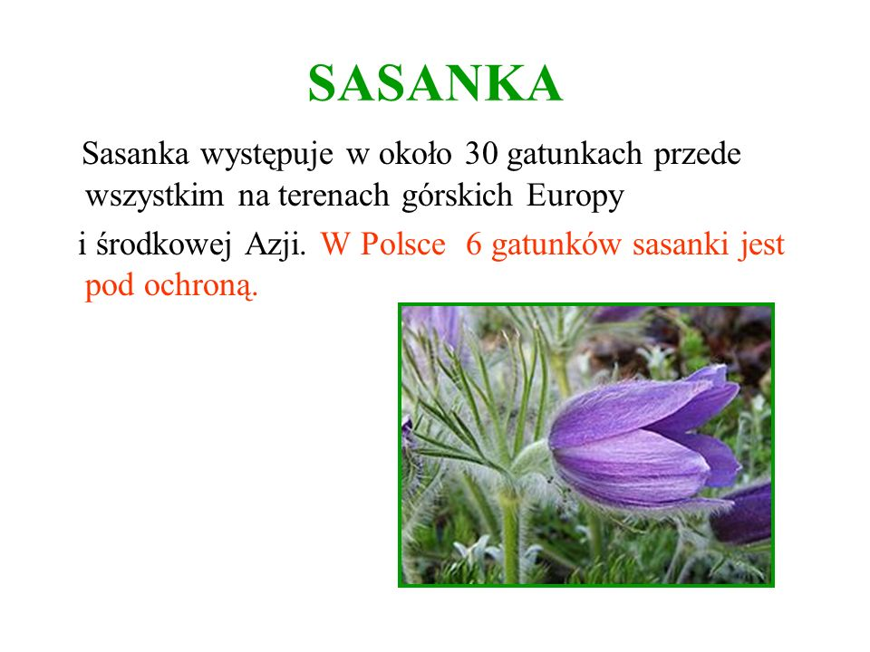 SASANKA Sasanka występuje w około 30 gatunkach przede wszystkim na terenach górskich Europy.