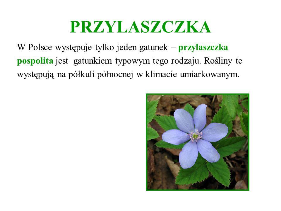 PRZYLASZCZKA W Polsce występuje tylko jeden gatunek – przylaszczka