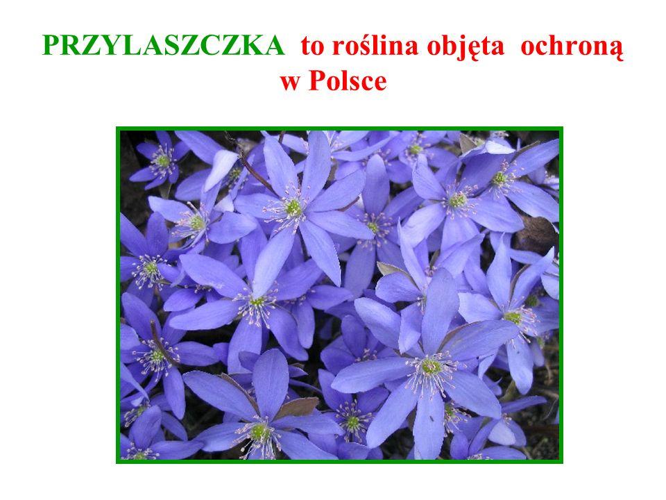 PRZYLASZCZKA to roślina objęta ochroną w Polsce