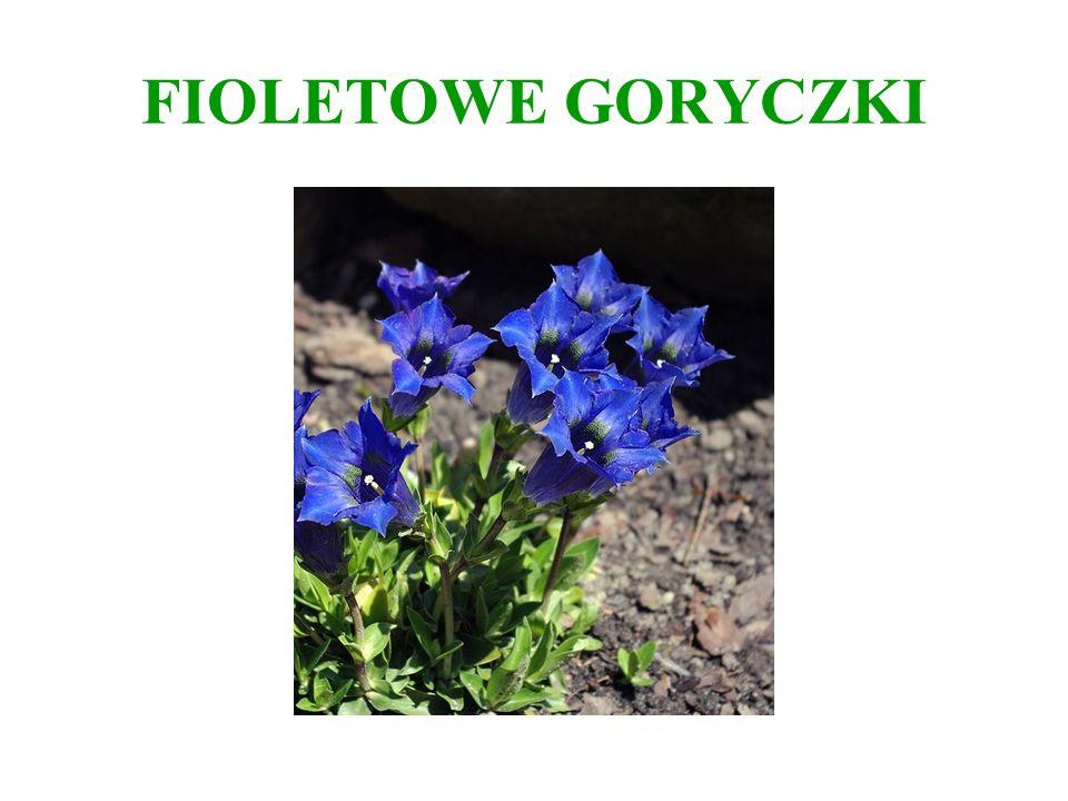 FIOLETOWE GORYCZKI