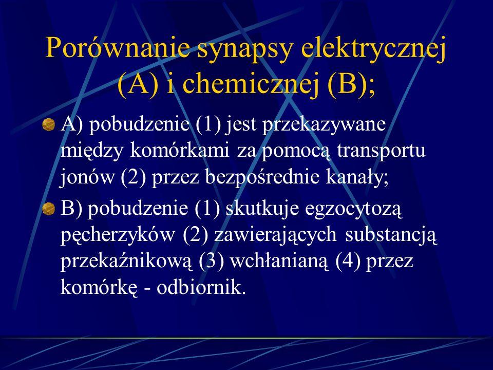 Porównanie synapsy elektrycznej (A) i chemicznej (B);