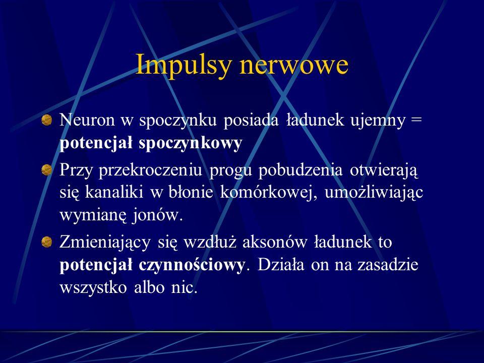 Impulsy nerwowe Neuron w spoczynku posiada ładunek ujemny = potencjał spoczynkowy.